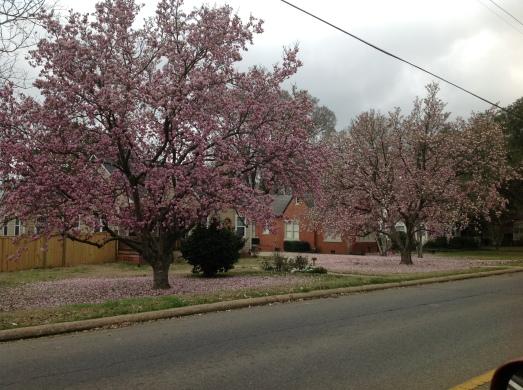 Jap Magnolias